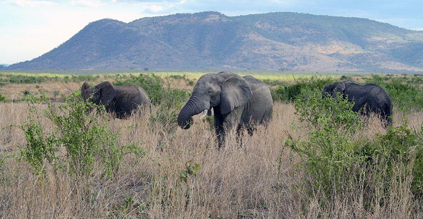 Elephants grazing hero