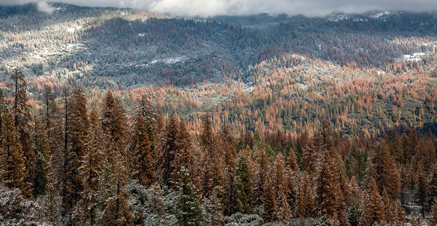 Stands of brown, dead trees throughout Sierra Nevada forests