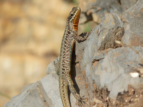 Lizard clings vertically to a rock.