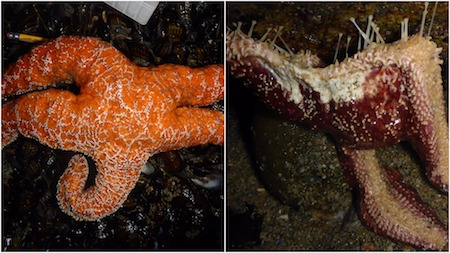 A normal sea star and diseased sea star