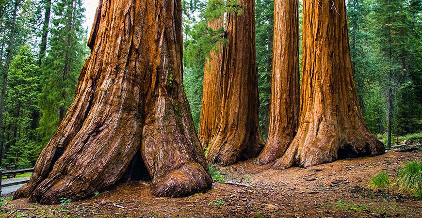 Giant sequoia tree hero image