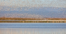 Waterbirds take flight over a large wetland area along the Pacific Flyway.